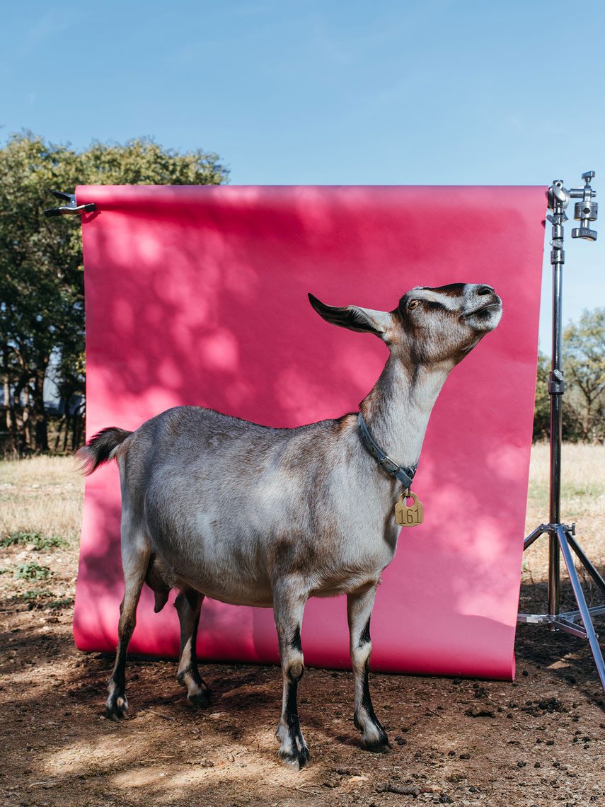 Carla the goat photographed by Advertising photographer Josh Huskin as an art installation piece at Blue Star Contemporary Art Museum for Common Currents in San Antonio, TX